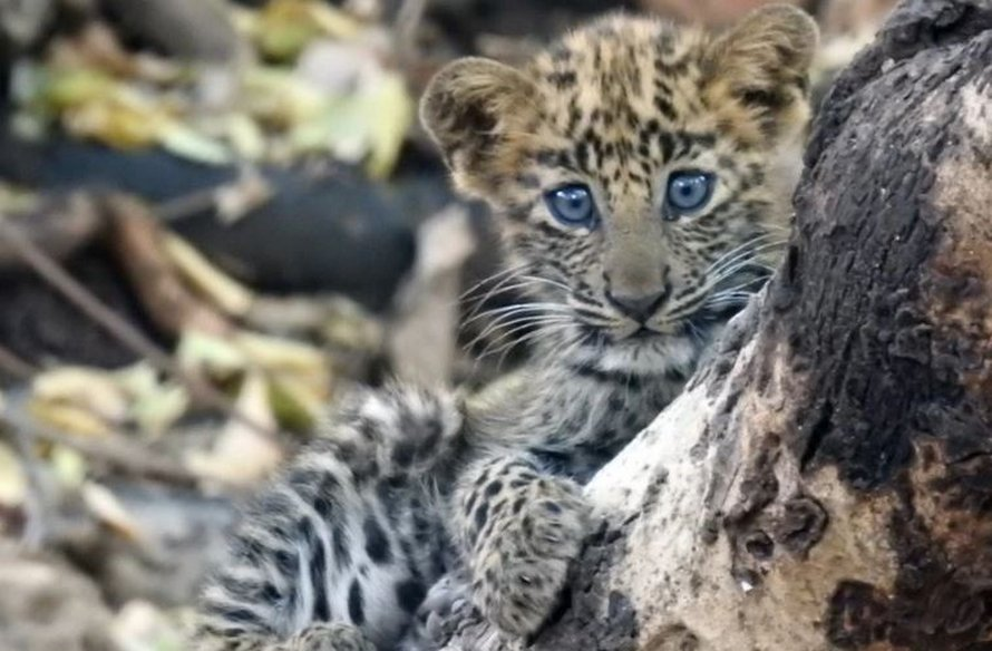 Cette maman lionne a adopté un bébé léopard malade comme si c'était son petit