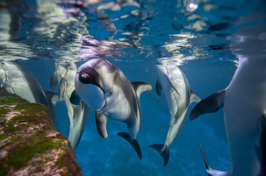 Après sa fermeture, cet aquarium a laissé ses manchots partir en «excursion»