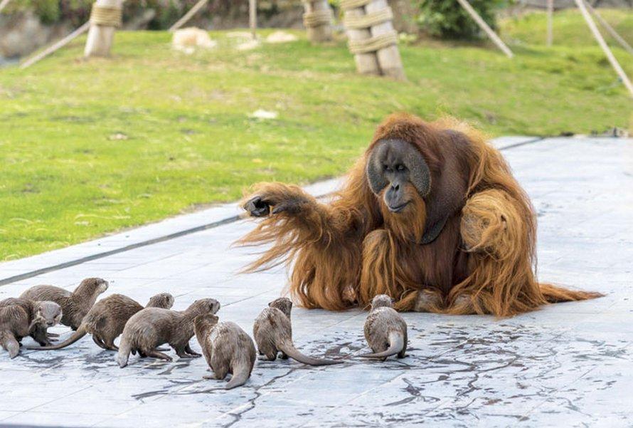 Des orangs-outans deviennent amis avec des loutres qui traversent souvent leur enclos à la nage dans un zoo de Belgique