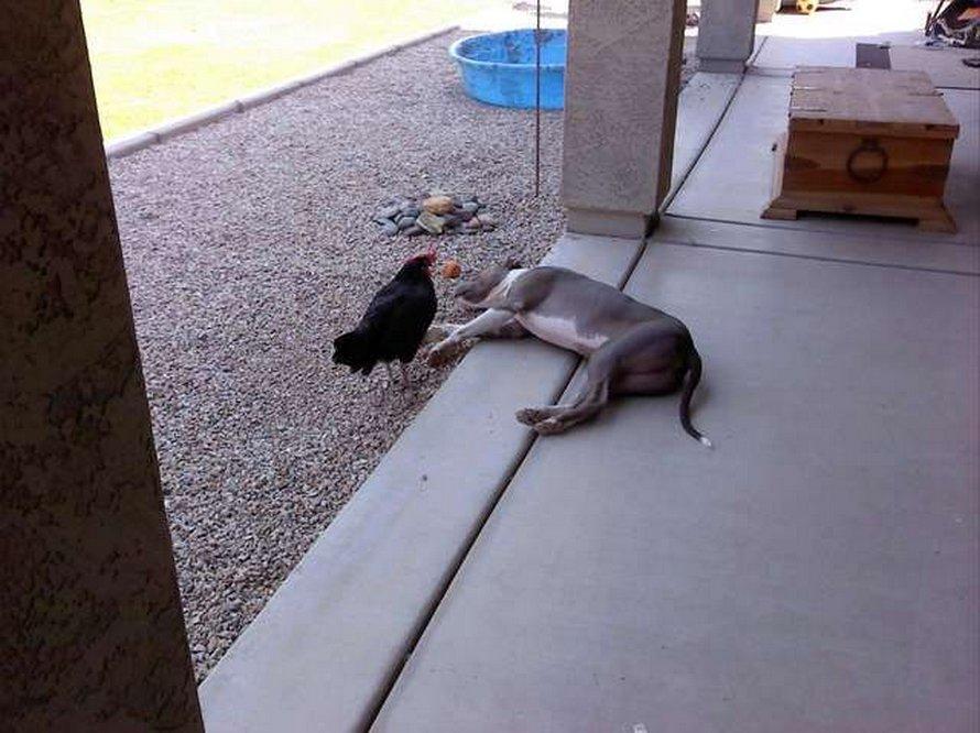 Ce pitbull et cette poule aveugle qui font tout ensemble sont les meilleurs amis