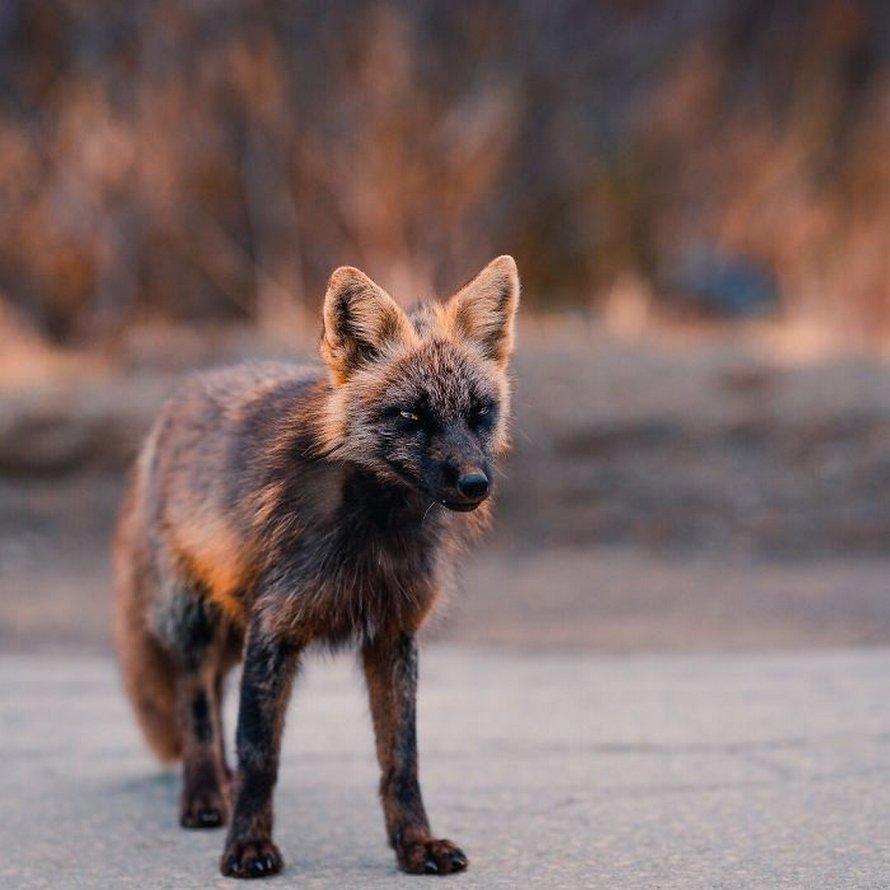 Un homme a gagné la confiance d'un renard noir et roux et a partagé de superbes photos de lui