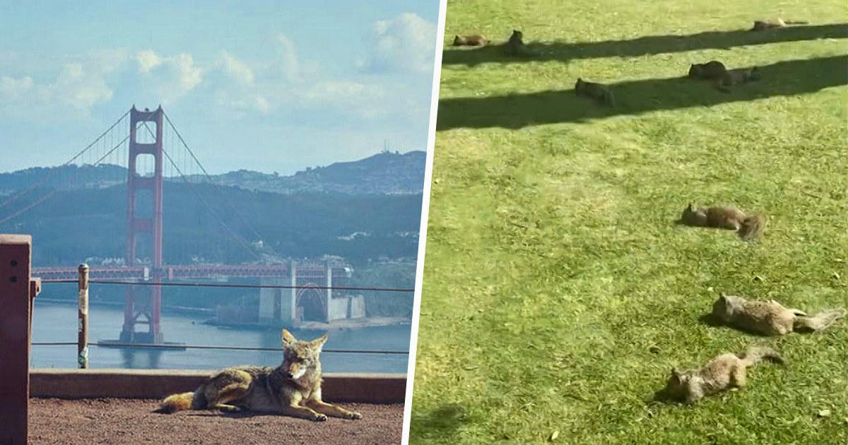 Des animaux envahissent les villes alors que les gens sont confinés à la maison