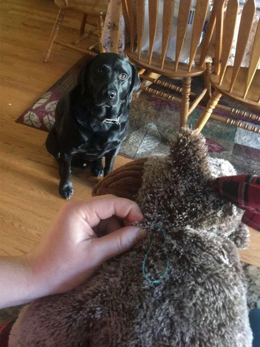 Ces 18 animaux ne peuvent pas se séparer de leurs jouets préférés et les guettent pendant que leurs propriétaires les réparent
