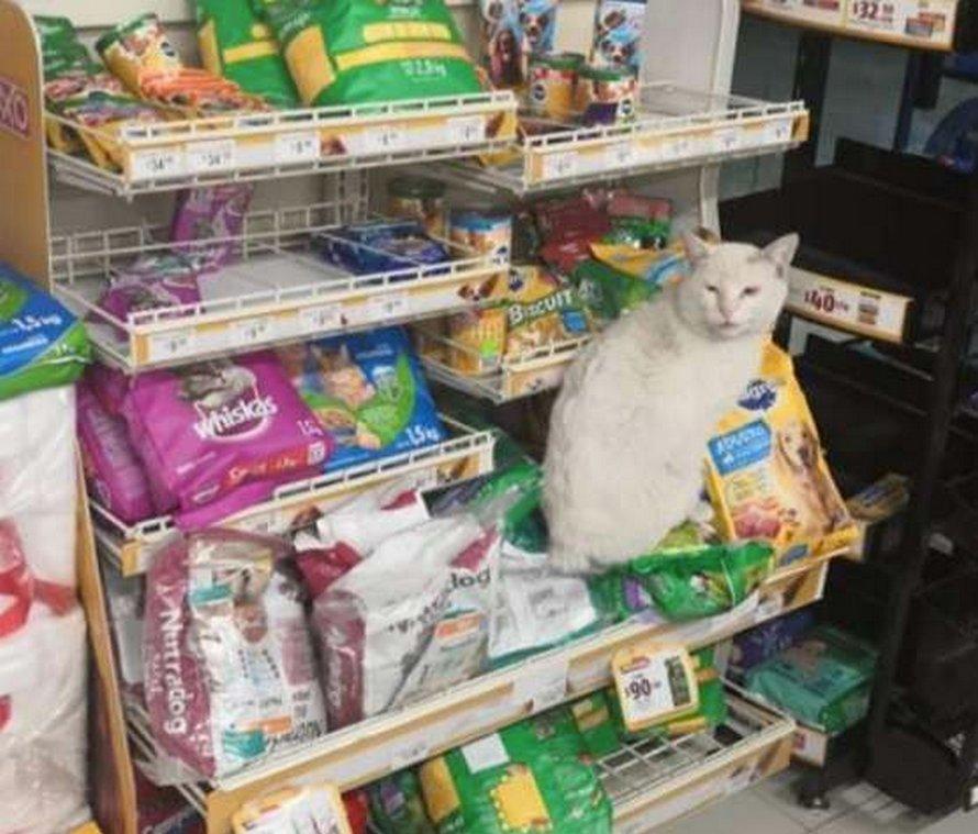 Ce chat malin visite ce magasin tous les jours et demande aux passants de lui acheter des friandises