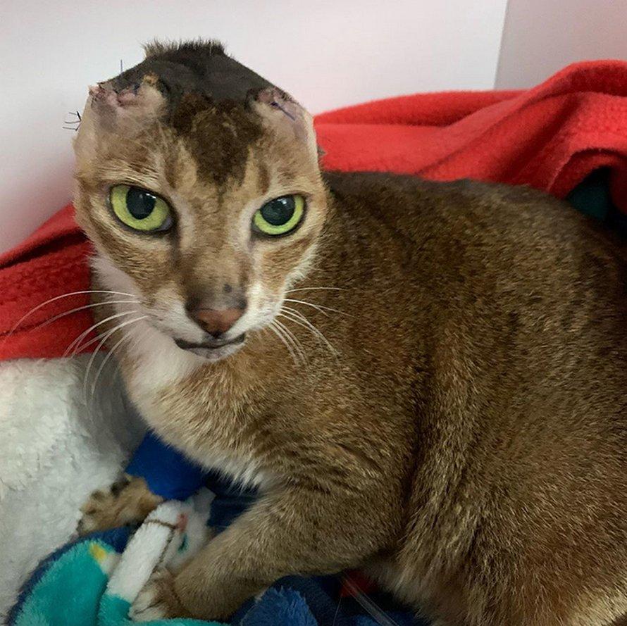 Un chat qui a perdu ses oreilles trouve une nouvelle maison et un meilleur ami et voici 24 photos de lui