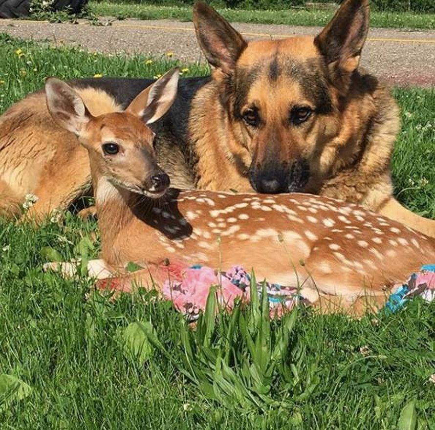 Ce gentil chien est le meilleur oreiller du monde pour les faons orphelins qui ont besoin de réconfort