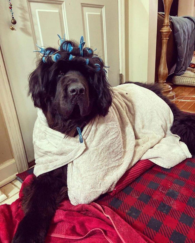 Une propriétaire coiffe son chien tous les jours depuis le début du confinement et les gens attendent avec impatience ses nouveaux looks