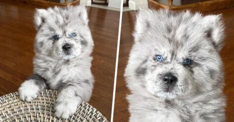 Voici Nuage Oreo, un petit chiot mignon qui finira par devenir un immense chien de 40 kilos