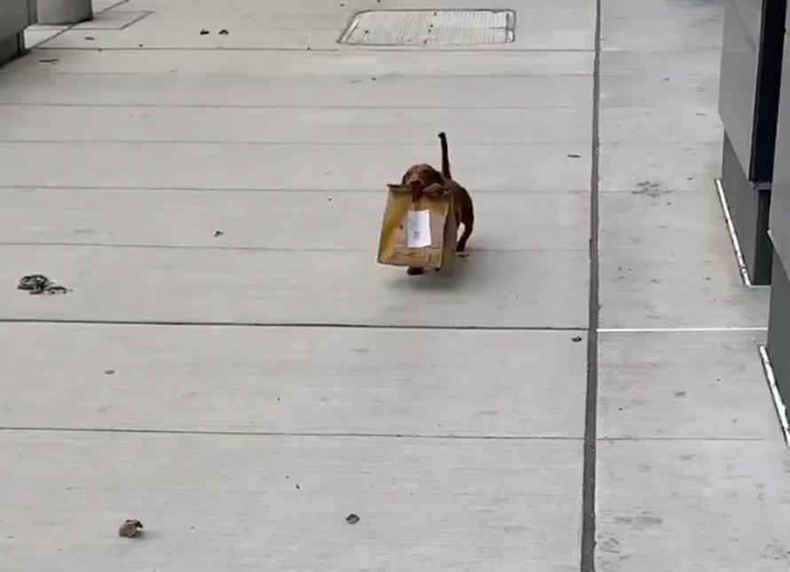 Ce bon petit chien-saucisse a été aperçu en train de rapporter de la nourriture à la maison pour sa famille