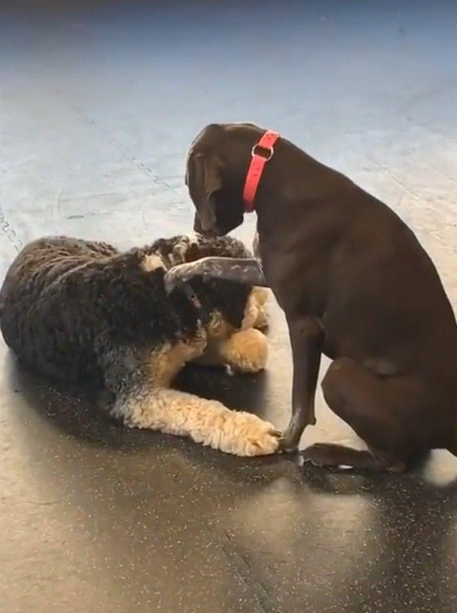 Cette chienne veut absolument caresser tous ses amis chiens à la garderie