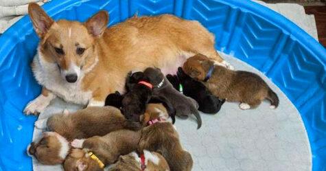 Cette maman corgi a adopté des chiots pitbull orphelins comme les siens