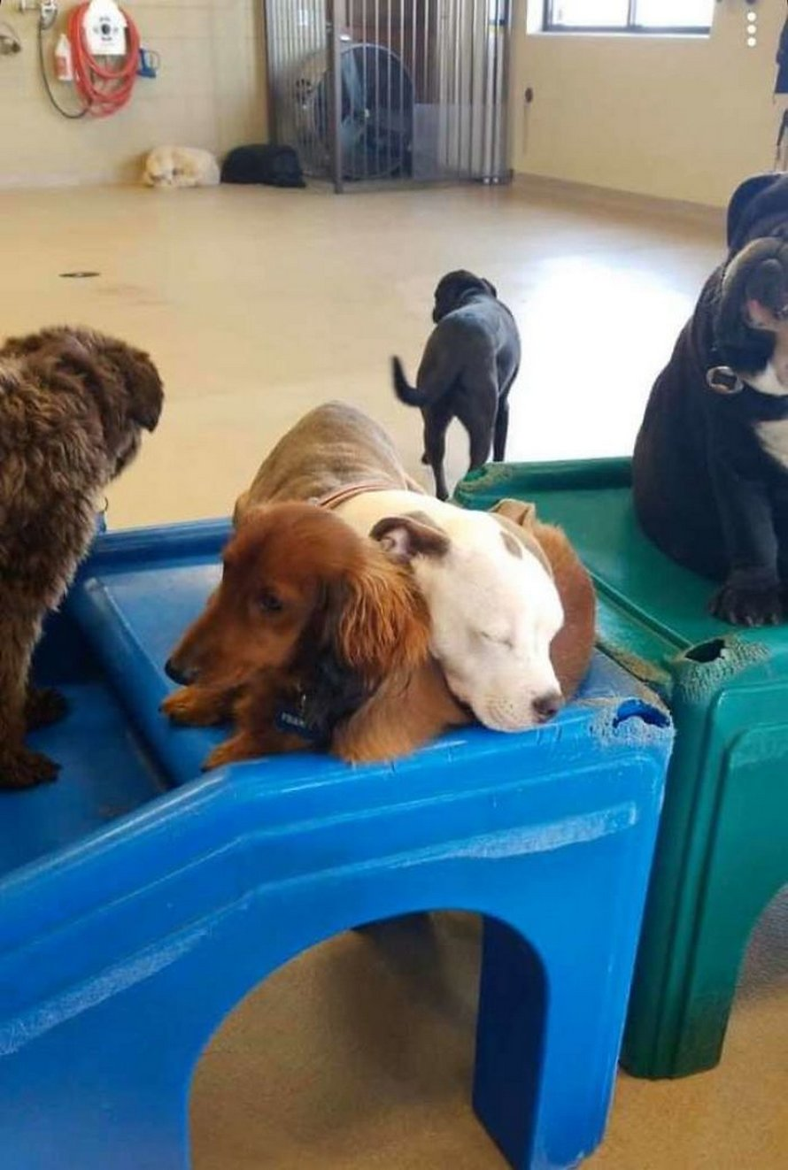 Ce chiot trouve les chiens les plus duveteux de la garderie et fait la sieste dessus