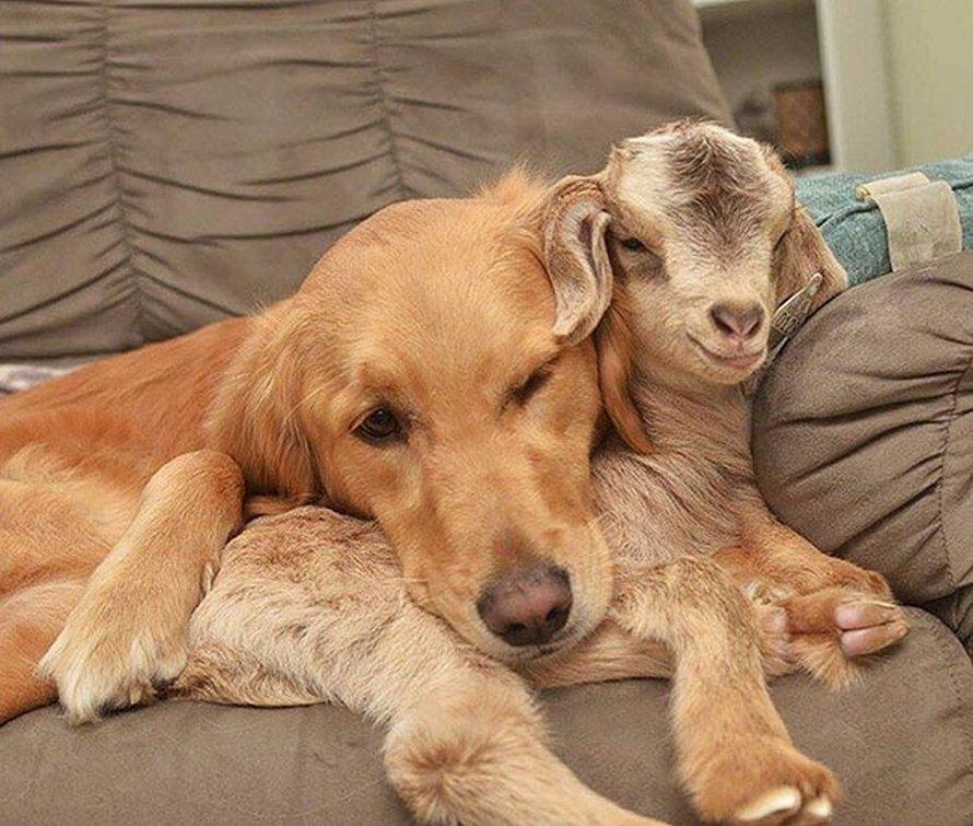 Cette chienne pense qu'elle est la mère de ces bébés chèvres et elle n'arrête pas de leur faire des câlins