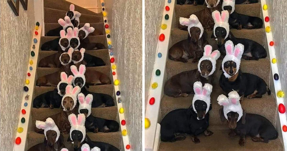Un homme a aligné ses 18 chiens-saucisses avec des oreilles de lapin pour la photo de Pâques parfaite