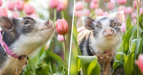 Ce cochon errant dans un jardin de tulipes roses va mettre un peu de tendresse dans ta journée