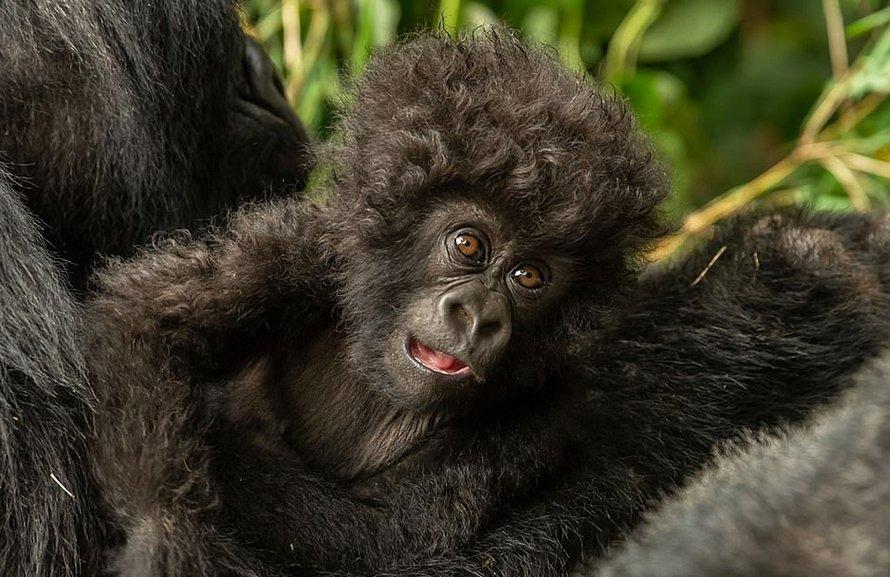 Un petit gorille aux cheveux bouclés partage un moment attendrissant avec une photographe