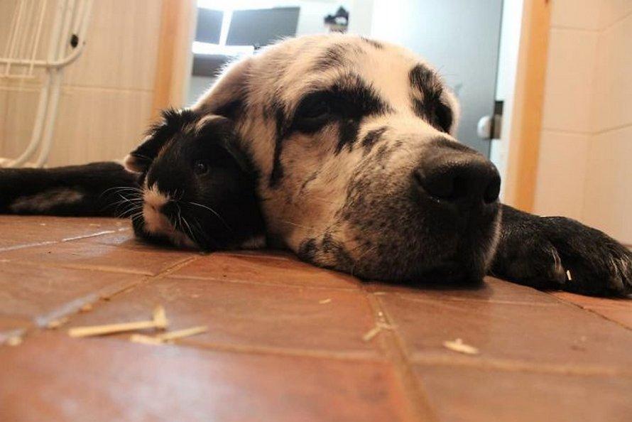 Ce labrador retriever noir pur est un peu différent des autres et voici les 27 plus belles photos de lui