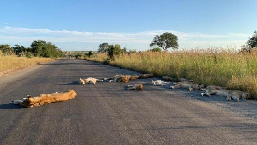 Des lions font la sieste sur une route pendant le confinement en Afrique du Sud