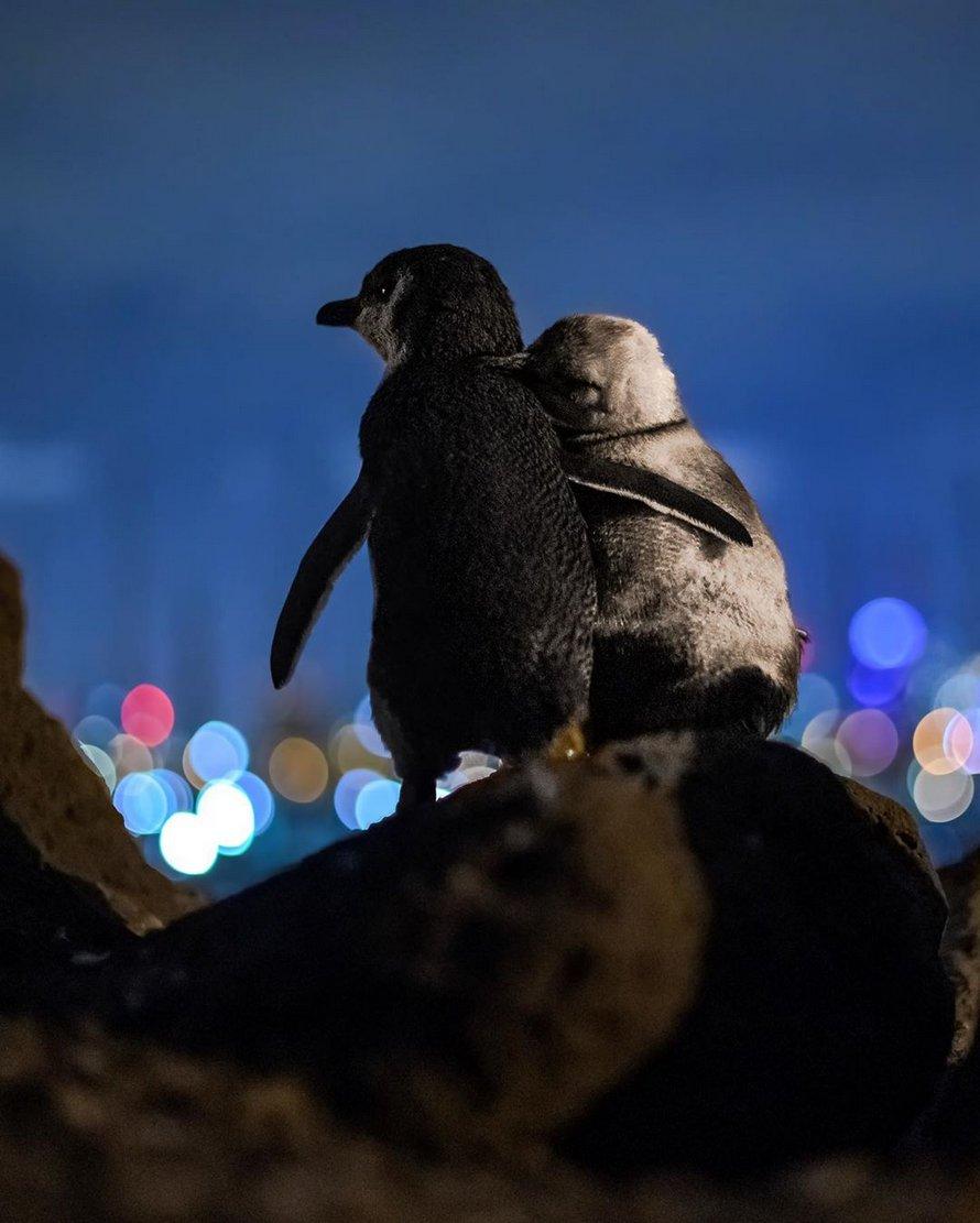 Un photographe prend un cliché de deux manchots veufs qui regardent l'horizon de Melbourne ensemble