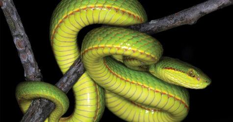 Des scientifiques découvrent un nouveau serpent et lui donnent le nom de Salazar Serpentard de Harry Potter