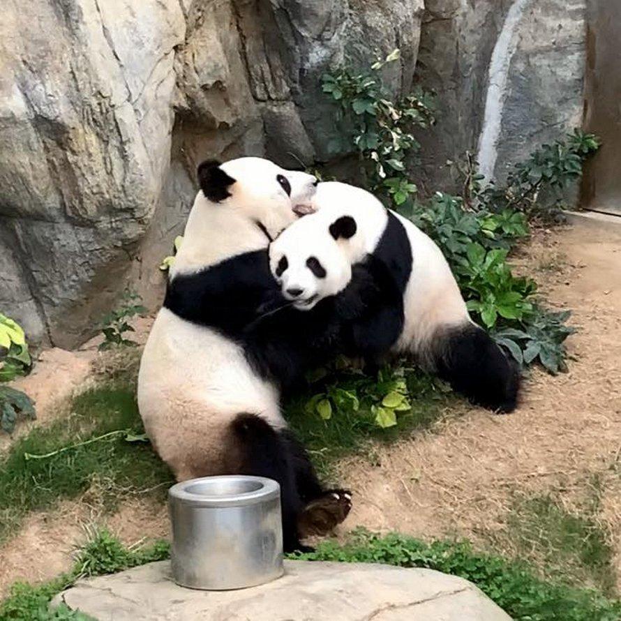 Des pandas géants se sont accouplés pour la première fois dans un zoo vide de Hong Kong après 10 ans passés ensemble