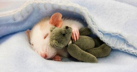 Il y a deux femmes qui prennent des photos de rats avec des ours en peluche, et ils sont trop mignons