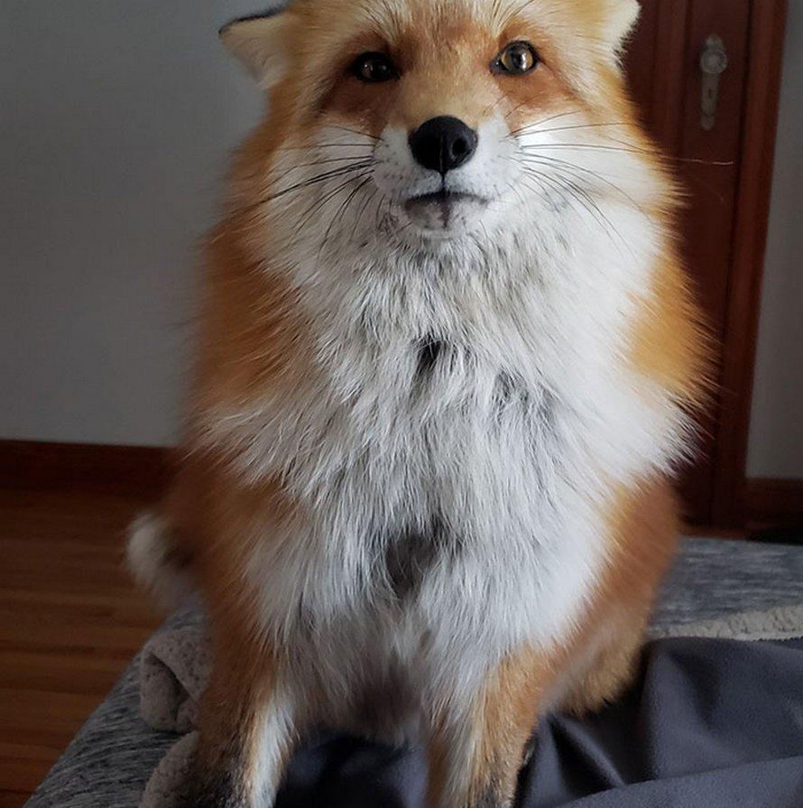 Ce renard rusé a volé le téléphone d'une femme, s'est enfui pendant qu'il filmait toujours et a essayé de l'enterrer