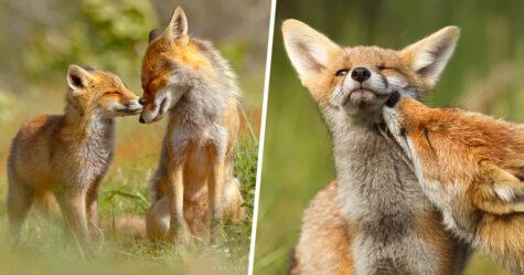 Cette photographe prouve que les renards sont des créatures très affectueuses en 12 images attendrissantes