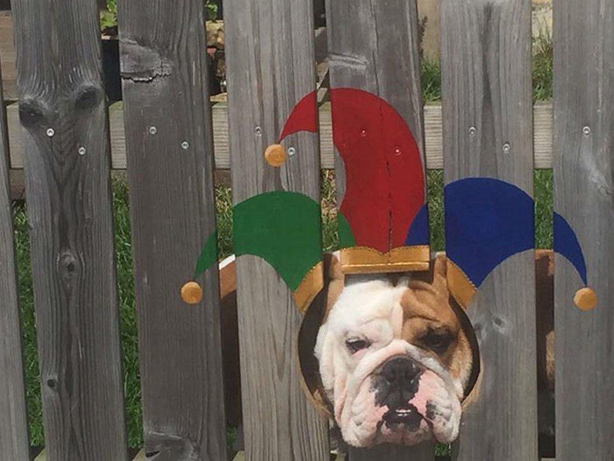 Ce bulldog adore regarder la rue à travers un trou, alors ses propriétaires ont peint 2 costumes sur la clôture