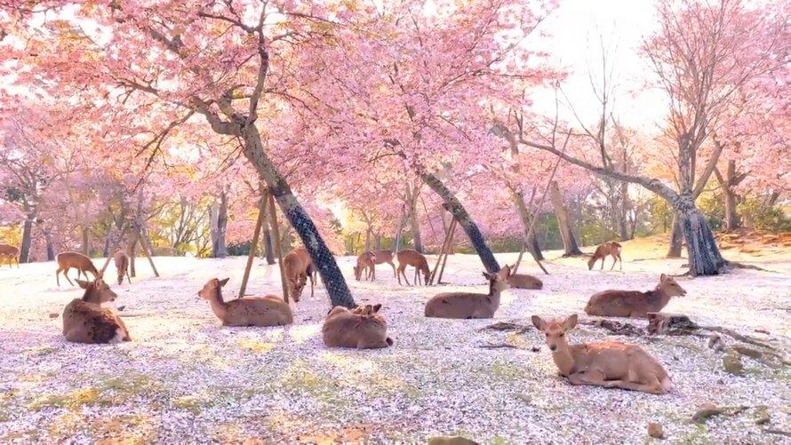 Des cerfs sauvages profitent des fleurs dans une scène sublime capturée dans le parc de Nara au Japon
