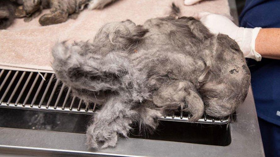 Des sauveteurs retirent 1 kilo de fourrure emmêlée de Fluffer la chatte et elle est adoptée 2 jours plus tard