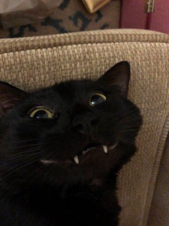 Ces humains sont fascinés par les dents de leurs chats et voici les 22 meilleures photos