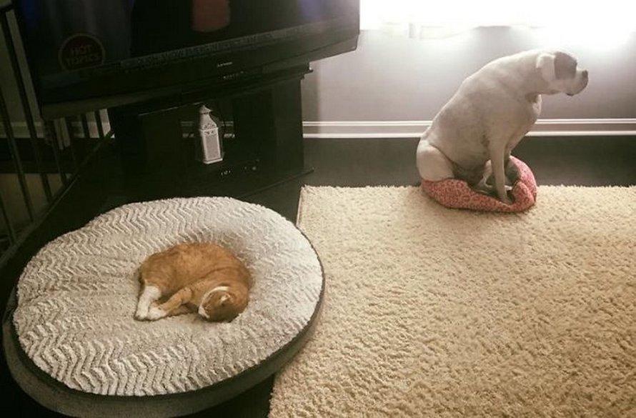 Ces chats malins ont volé les lits des chiens et voici les 22 moments les plus drôles