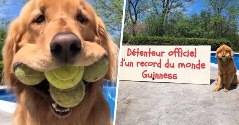 Un golden retriever devient le détenteur officiel du record du monde pour le plus de balles de tennis tenues dans la bouche