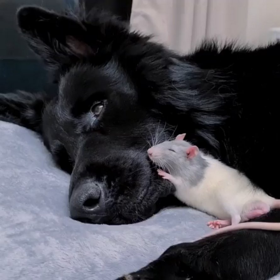 Ce petit rat court toujours vers son ami chien géant pour faire les siestes les plus douillettes
