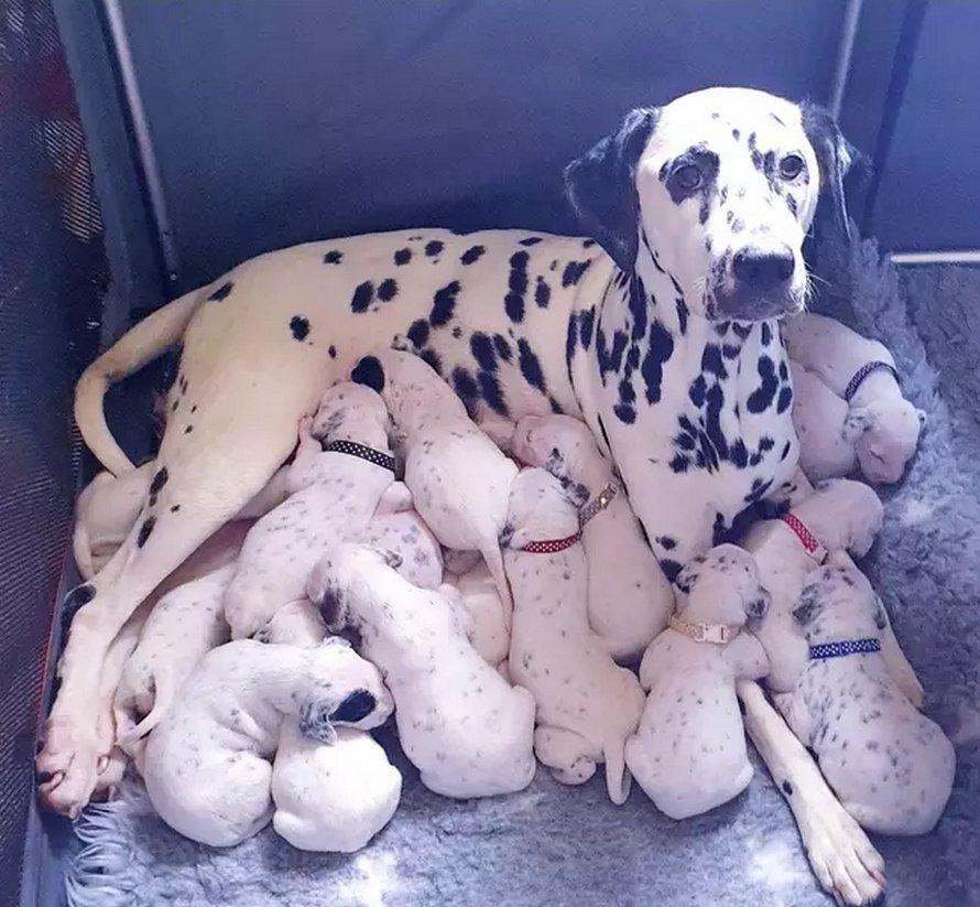 Une chienne donne naissance à 18 chiots dalmatiens après 14 heures de travail