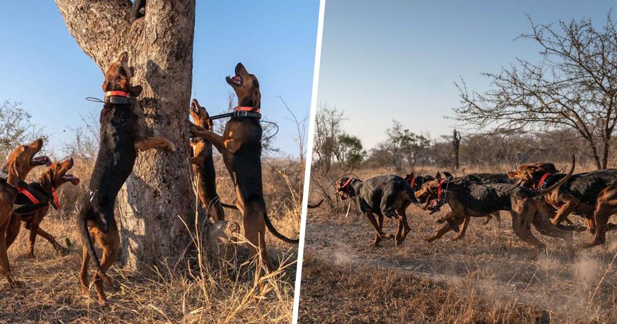 Des chiens entraînés à protéger la faune sauvent 45 rhinocéros des braconniers