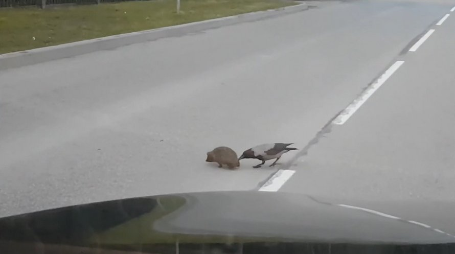 Ce corbeau semble aider un hérisson à traverser la rue