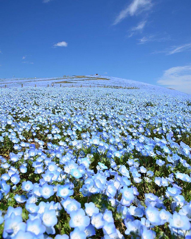 Plus de 5 millions de petites fleurs bleues viennent de fleurir dans ce parc japonais et dévoilent un spectacle à couper le souffle