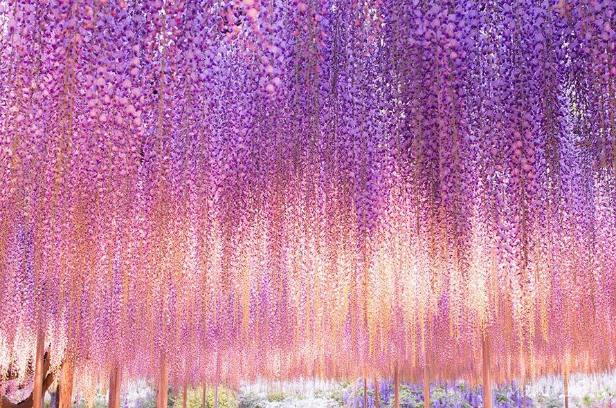 Cette glycine de 144 ans au Japon ressemble à un ciel rosé