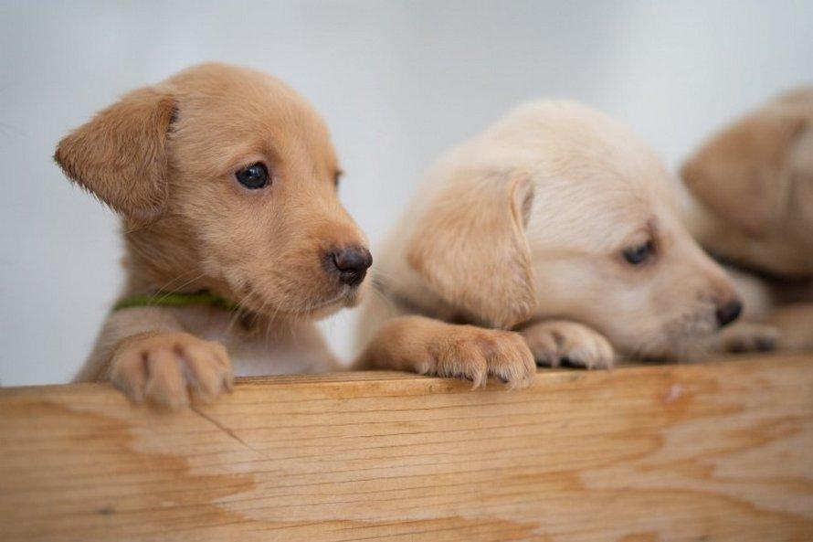 Un labrador donne naissance à 14 chiots et c'est l'une des plus grandes portées de l'histoire de la race