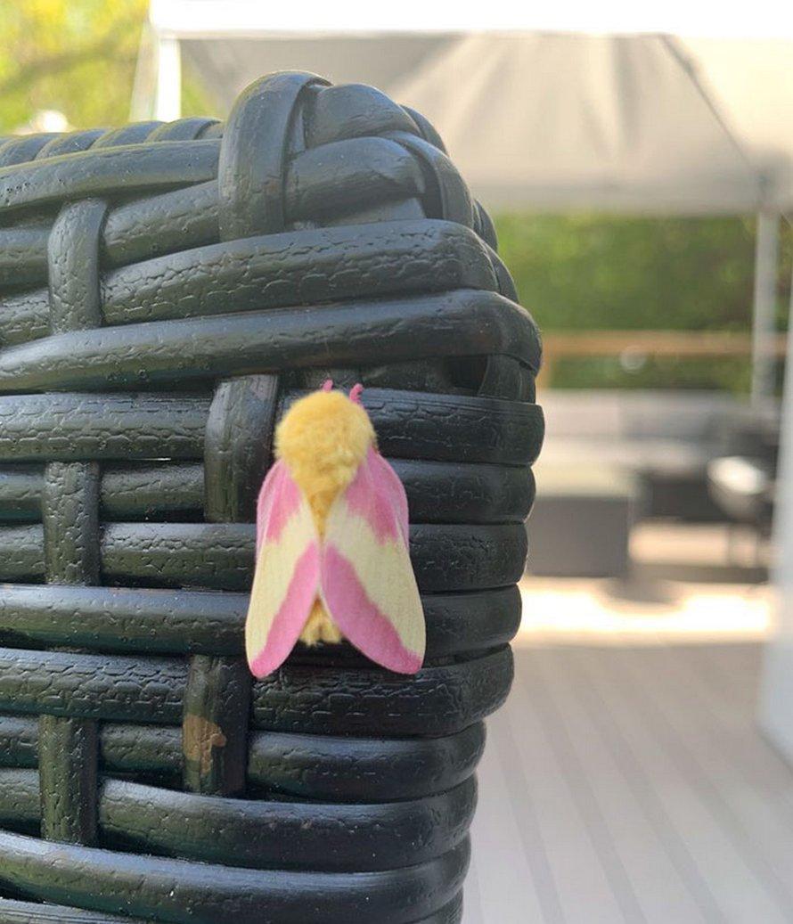 Une femme remarque un papillon coloré dans son arrière-cour et il s'avère que c'est une anisote de l'érable