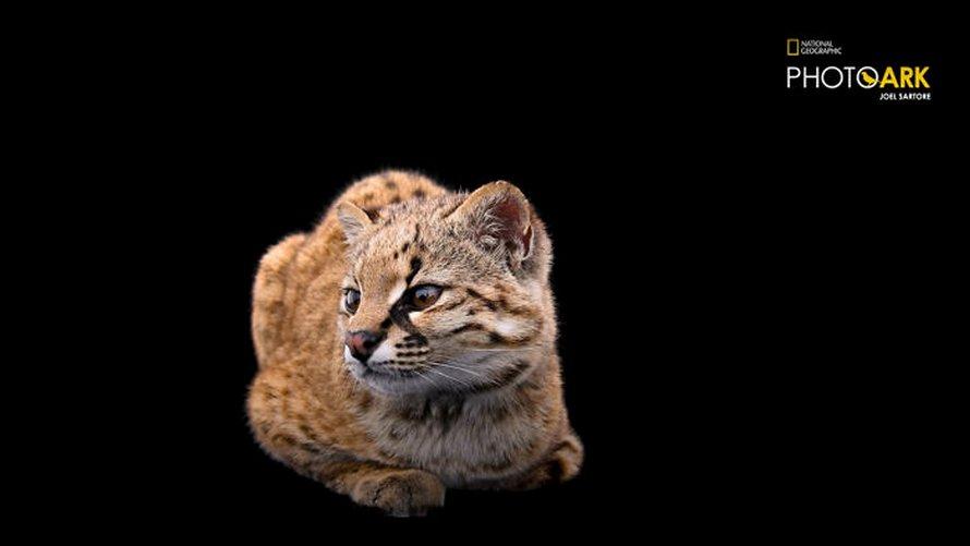 Le plus petit chat sauvage de l'hémisphère ouest est encore plus mignon quand tu entends le cri qu'il fait dans la vidéo