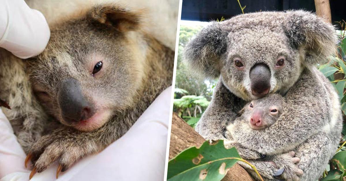 Le premier koala est né depuis les incendies dévastateurs en Australie