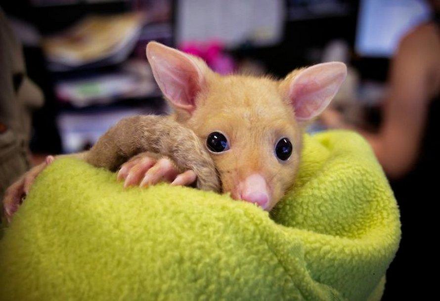Une clinique vétérinaire australienne sauve un rare possum doré et les gens disent qu'ils viennent d'attraper un Pikachu