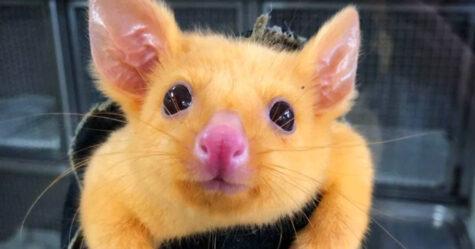 Une clinique vétérinaire australienne sauve un rare opossum doré et les gens disent qu'ils viennent d'attraper un Pikachu