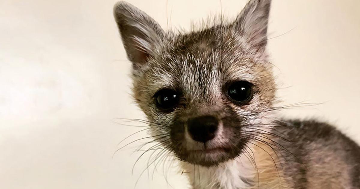 Ce bébé renard déshydraté a pris la chienne d'une famille pour sa maman, les a suivis jusque chez eux et a été sauvé et soigné