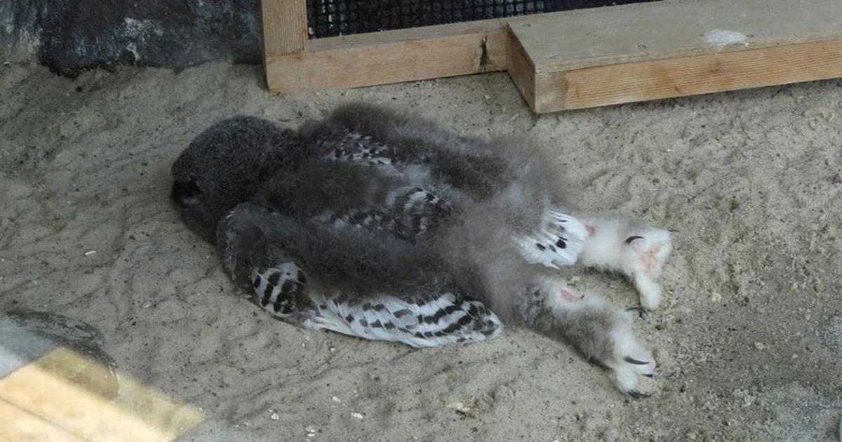 Les gens viennent d'apprendre que les bébés chouettes dorment sur le ventre, car leur tête est trop lourde