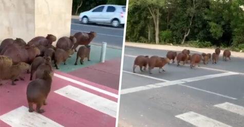 Une famille de capybaras malins découvre comment utiliser le passage piéton