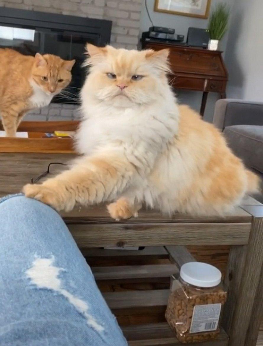 Un chat qui demande des friandises ne pourrait pas être plus clair avec son humain